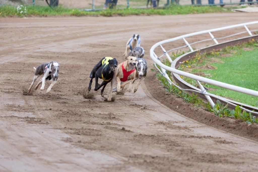 Best Greyhound Betting Sites